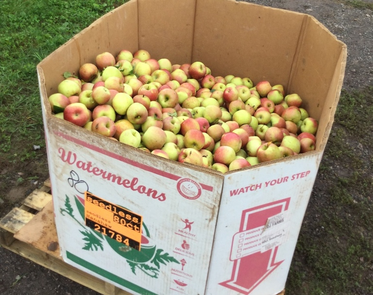 Third graders pick 700 pounds of apples for a good cause